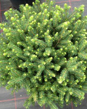 Picea omorika 'Karel' - Smrek balkánsky
