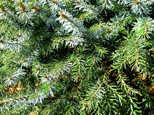 Picea omorika 'Nana' - Smrek balkánsky
