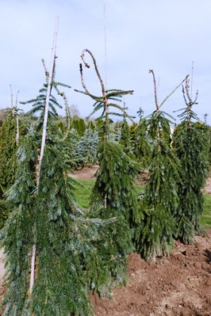 Picea omorika 'Pendula' - Smrek balkánsky