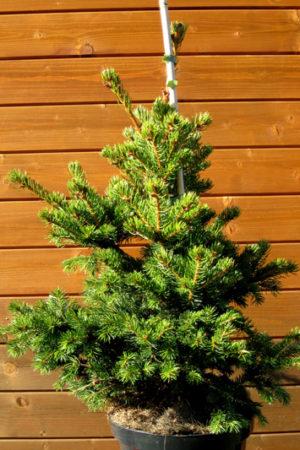 Picea pungens 'Lucky Strike' - Smrek pichľavý