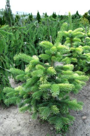 Picea pungens 'Maigold' - Smrek pichľavý