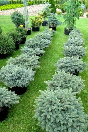 Picea pungens 'Waldbrunn' - Smrek pichľavý