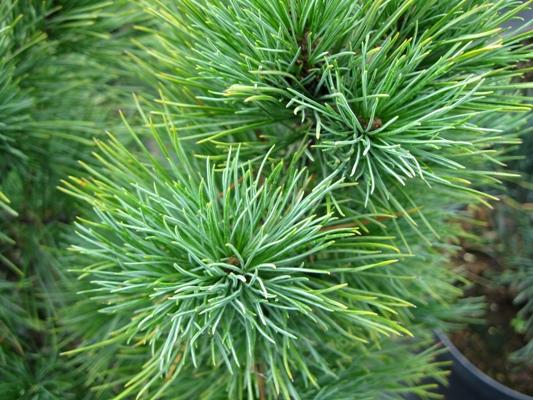 Pinus cembra - Borovica limba