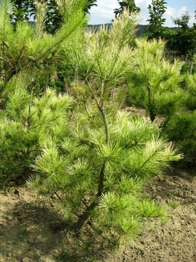 Pinus densiflora 'Oculus Draconis' - Borovica hustokvetá