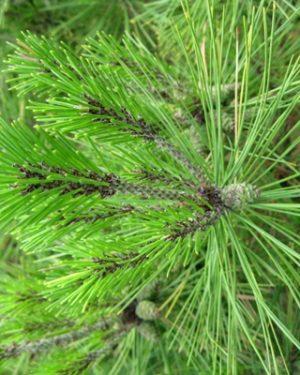 Pinus densiflora 'Umbraculifera' - Borovica hustokvetá