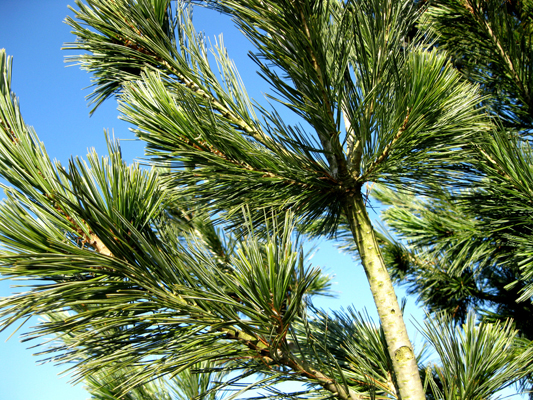 Pinus flexilis 'Vanderwolfs Pyramid' - Borovica ohybná