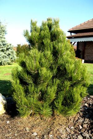 Pinus heldreichii 'Compact Gem' - Borovica Heldreichova