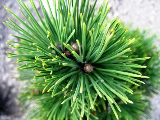 Pinus heldreichii 'Green Brush' - Borovica Heldreichova