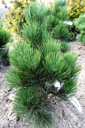 Pinus heldreichii 'Green Brush' - Borovica Heldreichova