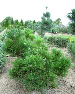 Pinus heldreichii 'Green Giant' - Borovica Heldreichova