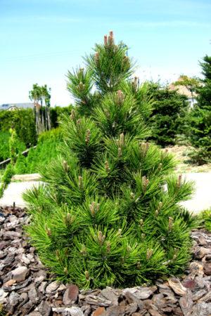 Pinus heldreichii 'Malinky' - Borovica Heldreichova