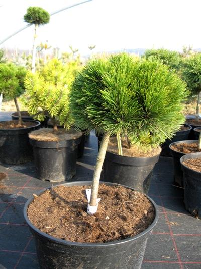 Pinus heldreichii 'Smidtii' - Borovica Heldreichova