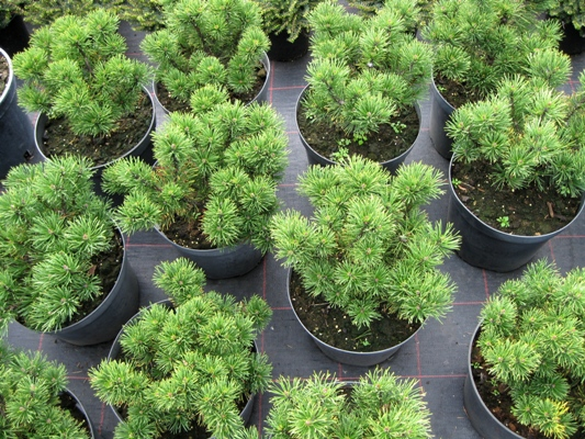 Pinus mugo 'Carstens Wintergold' - Borovica horská