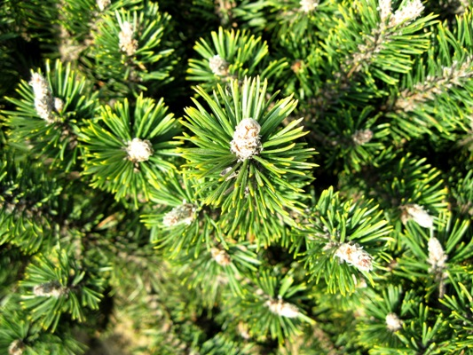 Pinus mugo 'Humpy' - Borovica horská