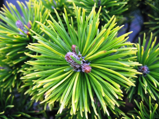 Pinus mugo 'Ophir' - Borovica horská