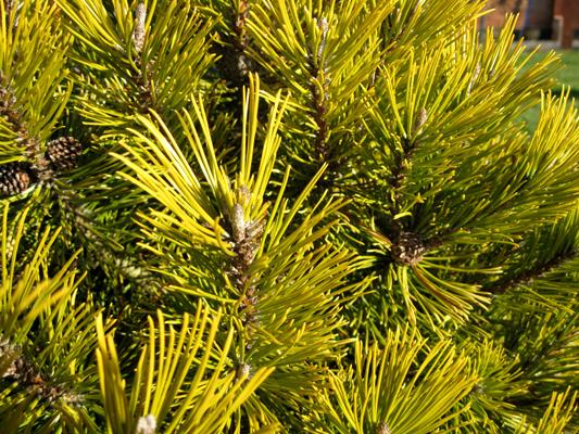 Pinus mugo 'Winter Gold' - Borovica horská