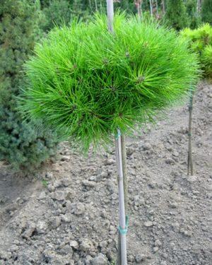Pinus nigra 'Bambino' - Borovica čierna