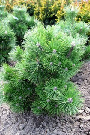Pinus nigra 'Nana' - Borovica čierna