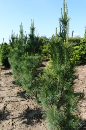 Pinus strobus 'Stowe Pillar' - Borovica hladká