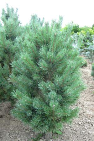 Pinus sylvestris 'Watereri' - Borovica lesná