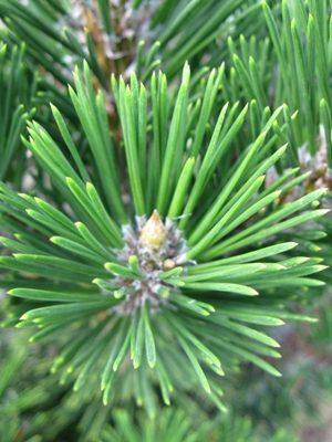 Pinus thunbergii 'Kotobuki' - Borovica Thunbergova