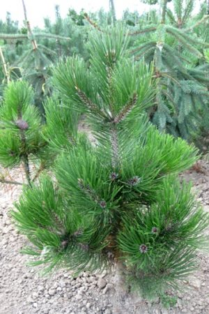 Pinus thunbergii 'Thunderhead' - Borovica Thunbergova