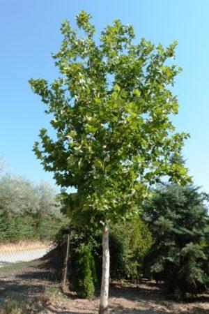 Platanus acerifolia - Platan javorolistý