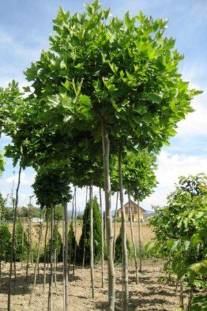 Platanus x acerifolia 'Alphens Globe' - Platan javorolistý