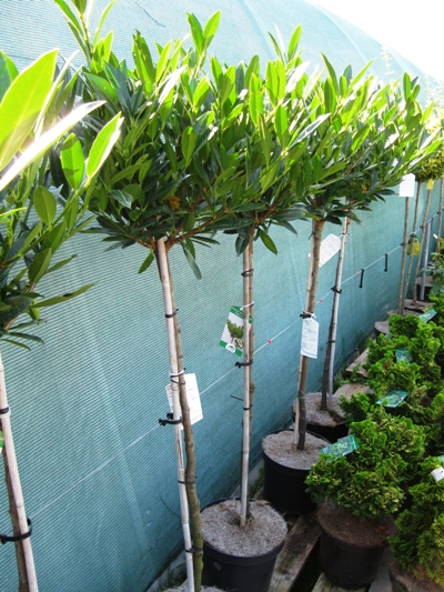 Prunus laurocerasus 'Otto Luyken' - Vavrínovec lekársky