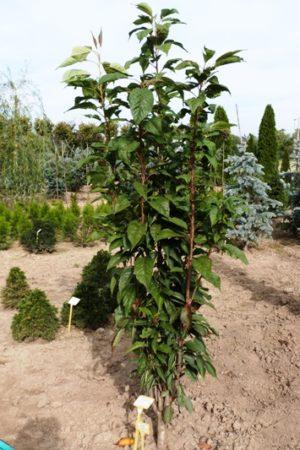 Prunus serrulata 'Amanogawa' - Čerešňa pílkatá