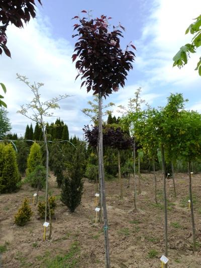 Prunus serrulata 'Royal Burgundy' - Čerešňa pílkatá