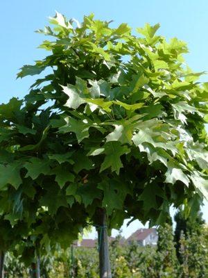 Quercus palustris 'Green Dwarf' - Dub močiarny