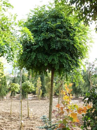 Robinia pseudoacacia 'Umbraculifera' - Agát biely