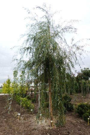 Salix alba 'Tristis' - Vŕba biela
