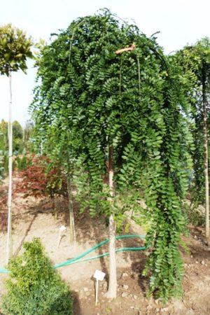 Sophora japonica 'Pendula' - Sofora japonská