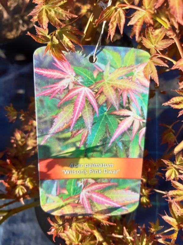 Acer palmatum 'Wilsons Pink Dwarf' - Javor dlaňolistý