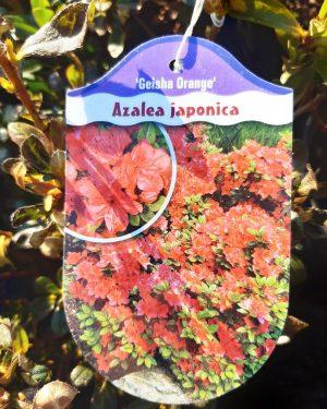 Azalea japonica 'Geisha Orange' - Azalka japonská