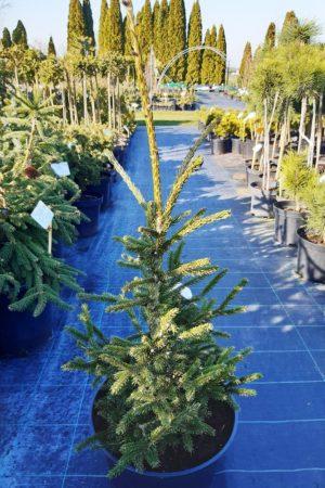 Picea orientalis 'Aureospicata' - Smrek východný
