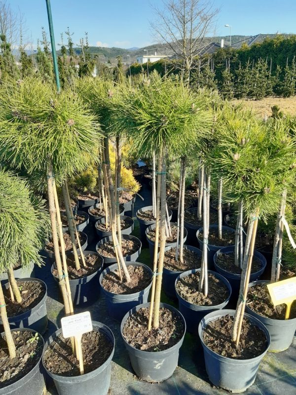 Pinus densiflora 'Jane Kluis' - Borovica hustokvetá