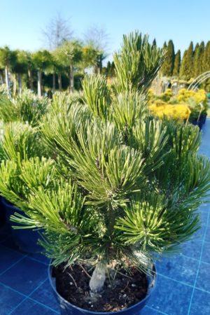 Pinus heldreichii 'Compacta' - Borovica Heldreichova