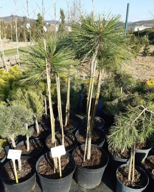 Pinus jeffreyi 'Joppi' - Borovica jeffreyova