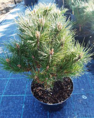 Pinus nigra 'Benelux' - Borovica čierna