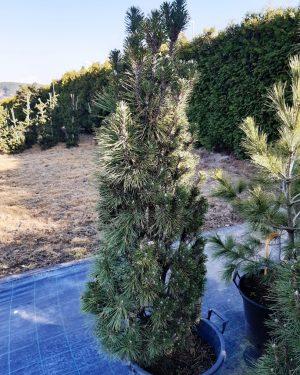 Pinus nigra 'Komet' - Borovica čierna