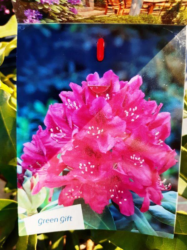 Rhododendron 'Nova Zembla' - Rododendron