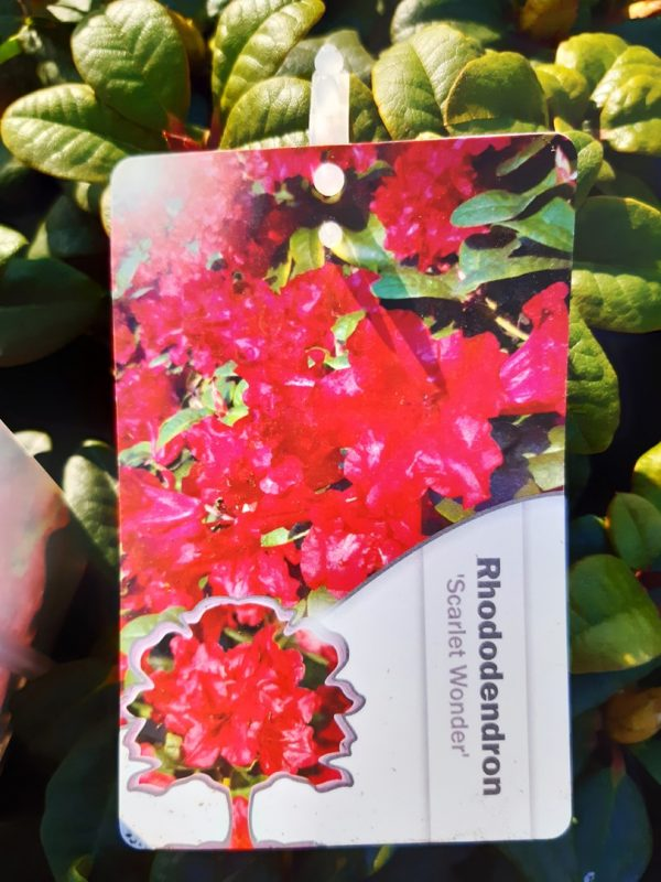 Rhododendron repens 'Scarlet Wonder' - Rododendron  zakrsnutý