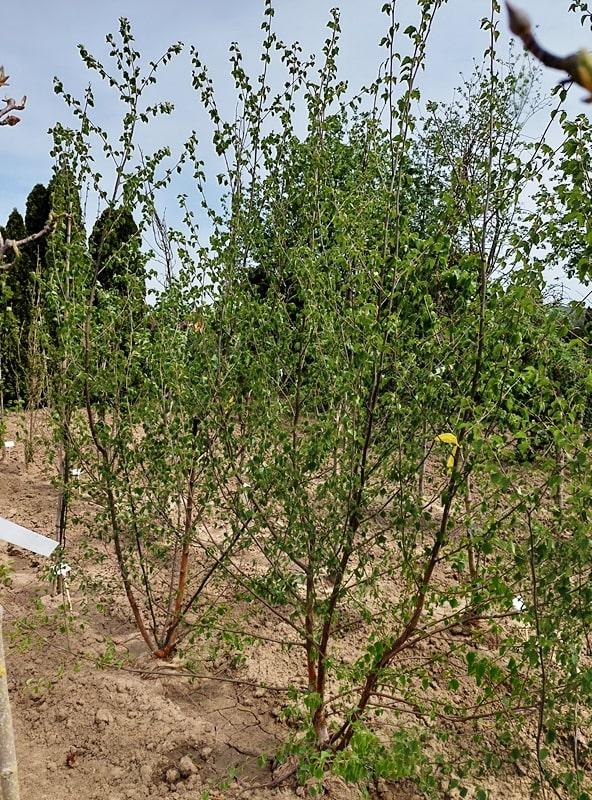Betula nigra 'Black Star'